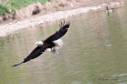 Bald Eagle flying over the Grand with a goose in the background